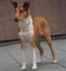 Collie's of Sealand Darling Damira Smooth