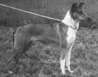 Collie's of Sealand Domina Duschesse Smooth