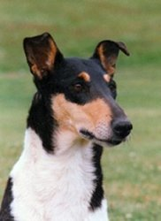 Collie's of Sealand Number Seven Nice Nessica