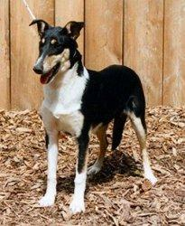Collie's of Sealand Xenabelle Xynthia Smooth